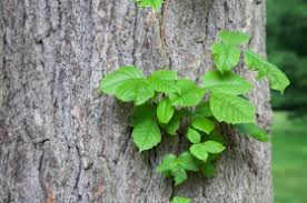poison ivy growing vine